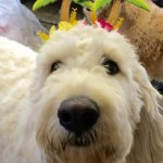 Goldendoodle and Labradoodle Rescue - Delaware Valley Golden