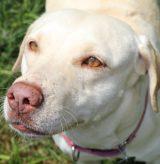 16-093 Preciosa Golden Labrador 9