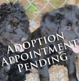 DVGRR Black Doodle Puppies aap