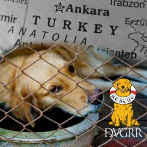 DVGRR Golden Retriever Rescue Turkey