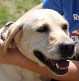 16-169 Cashew Labrador Retriever 3