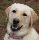 16-301 Lilly 15 Labrador Retriever 2